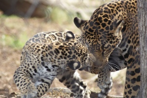 Leopard cubs at the Zoo